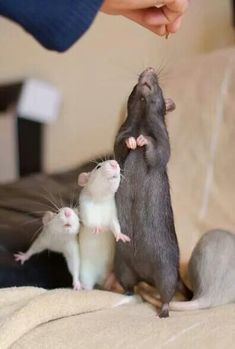 It's easier to train young ratties when momma rattie is there to help !