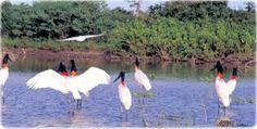 Resultado de imagem para pantanal