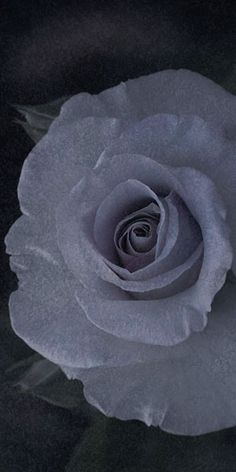 """Flowers in Neutral Moment-2015 """" Rose ( Stainless Steel / HT ) """" Archival pigment print Printed on cotton rag fine art paper Photo by Soichi Oshika"""