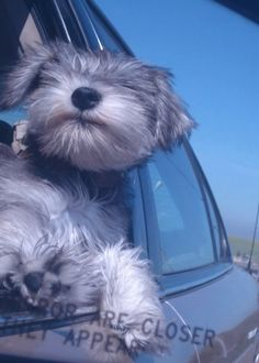 That's how he rolls! #benito#puppy#toocute#schnauzer