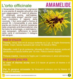 Amamelide In Natura, Keto Nutrition, Health And Wellness, Herbalism, The Cure, Spices, Herbs, Healthy Recipes, Plants
