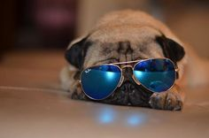 Little #pug is super cool