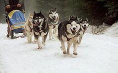 Perro de trineo - Wikipedia, la enciclopedia libre