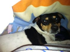 Toy Fox Terrier....Tired!