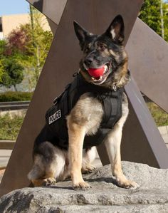 Beautiful Police Dog thnsk u 4 your service  god bless u www.capemaydogs.com