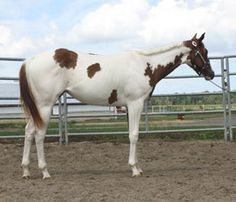 Lucky LeAnn, Harris Paint Horses