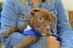 Rex the Pit Bull — in New York, New York | via Facebook puppy class