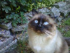 our  cat (ragdoll)  Sir Klungel