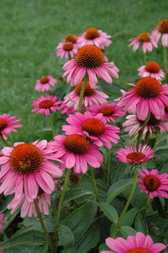 Echinacea 'Ruby Star' 3-4'- front of house