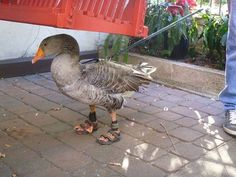 I thought I had seen everything...Wrong... A duck - on a leash - wearing homemade Birkenstocks. What's next?