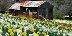it's almost time to visit Daffodil Hill  - Amador County. Up to 300,000 bulbs!