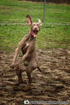Crazy Dog Imitating Kangaroo
