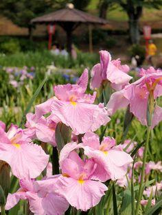 pink Japanese Iris, Higashi(east) park,  Okazaki City, Aichi, Japan. Photo: T.Kiya via Flickr