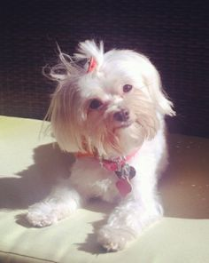 Khloe is a 3-year-old maltese and 1/4 Chihuahua who uses her craze and energy to dance her paws off! Enter your pup here! http://blog.dogvacay.com/cutest-puppy-photo-of-the-week-contest-7/