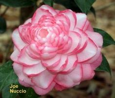 Camellia is a lovely flowering evergreen shrub that blooms in late winter and early spring and adds that touch of color to your garden in an otherwise...