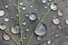 Leaf Macro: A macro photograph of rain drops covering a leaf.  The details are beautiful, and will bring a piece of the outdoors to your home or office.  Photography by Angela Murdock. Prints available! #photography #macro #waterdrop #rain #leaf