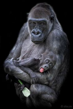 mother gorilla and her baby by elke.os on 500px