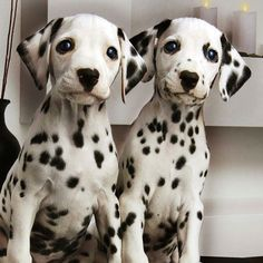 animals, dogs, Dalmatians