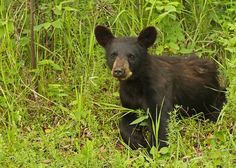 https://flic.kr/p/FTKqGx | Black Bear Cub...#31 | June 2015 - this young black bear was sitting on the side of a hill side in Riding Mountain National Park.