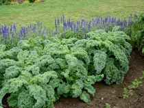 How to Grow/Harvest Kale