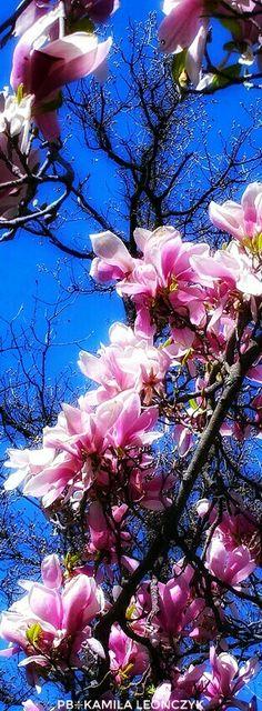 Magnolia Magnolia Gardens, Plants, Cute, Flowers, Plant, Planting, Planets