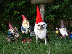 Dog as gnome.....