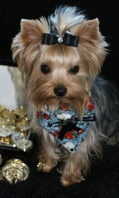 Everything About The Brave Yorkie Dogs Grooming Cute Puppies, Cute Dogs, Dogs And Puppies, Schnauzers, Shih Tzu, Yorkie Hairstyles, Yorkie Dogs, Terrier Puppies, Dog Suit
