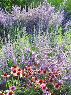 Love Russian Sage and I will have huge amounts planted along my driveway this summer....I promise!