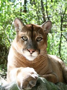 Mac's previous owner donated him to Big Cat Rescue when the owner's city's zoning laws changed to make Mac's presence illegal.
