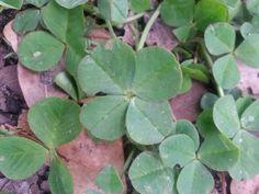Uno de 4 hojas..