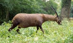 The incredibly rare Saola - also known as the Asian Unicorn