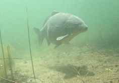 Think about what carp actually eat naturally...