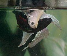 32 Best Betta Fish Images Betta Fish Tropical Fish Exotic Fish