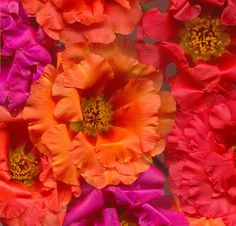 00819 Portulaca flowers hi res by horticultural art, via Flickr