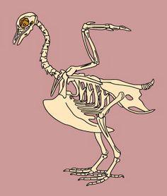Bird skeleton info.