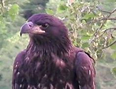 Decorah Eagle D12 <3
