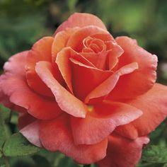 Sriracha® Floribunda Rose