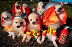 #firefighter Seven Pomeranian dogs wear firefighter costumes during a fashion show of the Dog Olympics. The show was held at the Hakkeijima Sea Paradise .