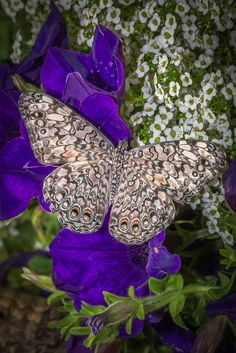 Patterned Butterfly with Purple Petunia Flowers