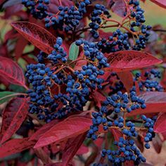 Shrubs for fall-'Winterthur' smooth witherod viburnum (Viburnum nudum 'Winterthur') USDA hardiness zones: 5 to 9 Conditions: Full sun to light shade; Garden Shrubs, Flowers, Foliage, Garden, Autumn Garden, Winter Garden, Plants, Fine Gardening, Viburnum