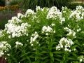 Phlox 'David' (perennial). Fragrant with good resistance to powdery mildew.