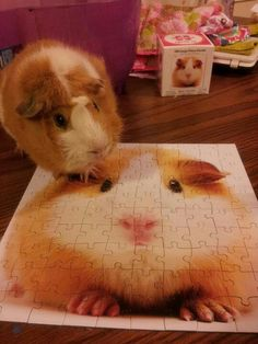 Guinea pig and his puzzle :) :) this is bigpig and we miss him♡-MG