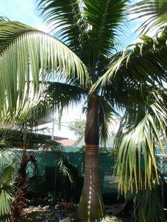 Rare Island Tropical Foliage and Palms - Satakentia liukiuensis Field grown wholesale Rare Palm Tree Grower Homestead Florida #RarePalms #RealPalMTrees 1888-778-247Six