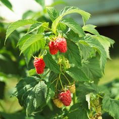 Grow raspberries in your own landscape.