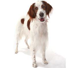 Irish Red and White Setter - Large Dog Breed   Dog Fancy