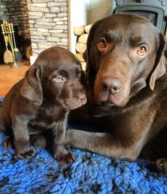 Buy a Chocolate Labrador dogs and puppies Pinterest