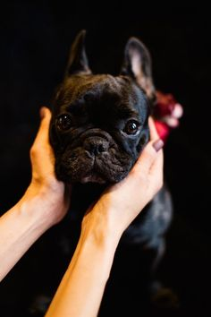 Adorable Adorable French Bulldog Puppy, by Tony Gigov Photography ⎪ see more on: http://burnettsboards.com/2015/07/sultry-marsala-black-wedding/