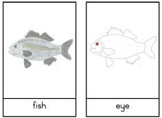 Paulieandme: Parts of a Fish nomenclature cards #montessori #flashcards