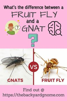 The eternal question. Find out more in our full guide to fruit flies! Fruit Flies, Fly Traps, Gone For Good, How To Get Rid, This Or That Questions