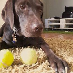 I got Balls!!! 😂😂😂 But I just can't choose...i love you both😐 #tennisballtuesday #features #lablove #labrador #retriever #chocolatelab ・・・ 🐾Thanks for using our tag Frida and for being FabLabulous! ・・・ #Repost @frida_the_chocolate_lab • • • 🐶 Want to be featured? Simply follow @fab_labs_ and use our hashtags: #fab_labs_  #fablabs #FLPWetWednesday to your daily posts!! fab_labs_